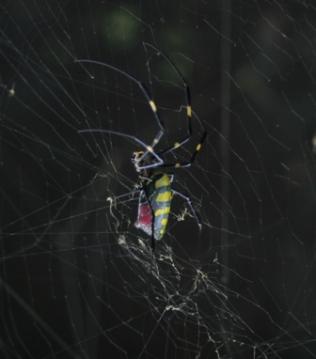 japan_spider1