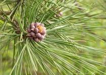 pinecones01